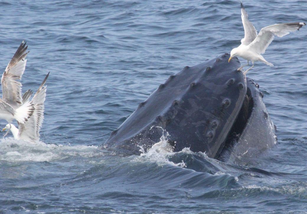 boston whale watch august 6 2016 16