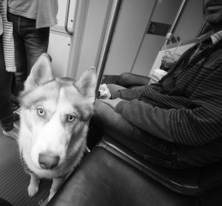 boston c line husky loki 2