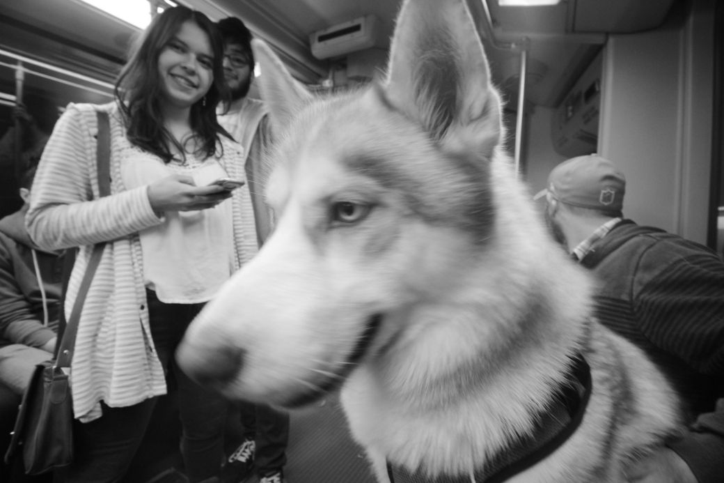 boston c line husky loki 3