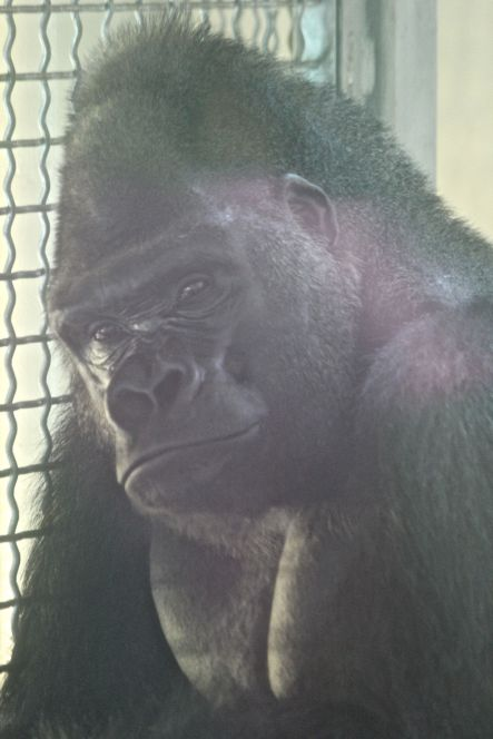 philadelphia zoo gorilla 2