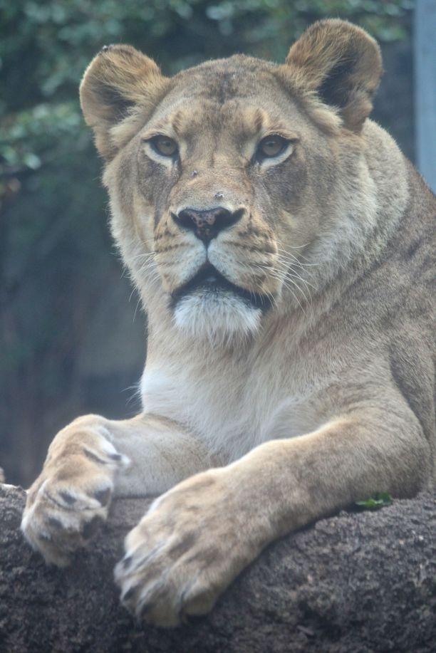 philadelphia zoo lioness
