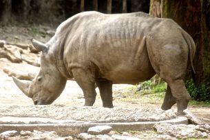 philadelphia zoo rhinoceros