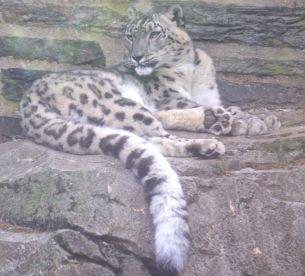 philadelphia zoo snow leopard