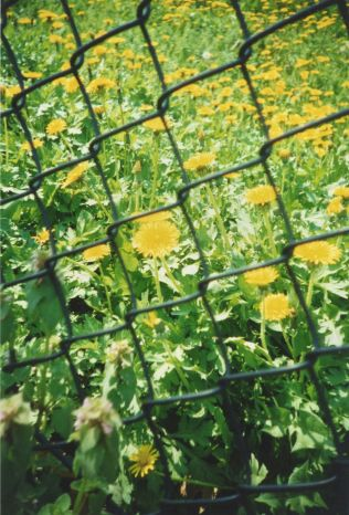 washington dc capitol hill fence yellow flowers lomo photos 42