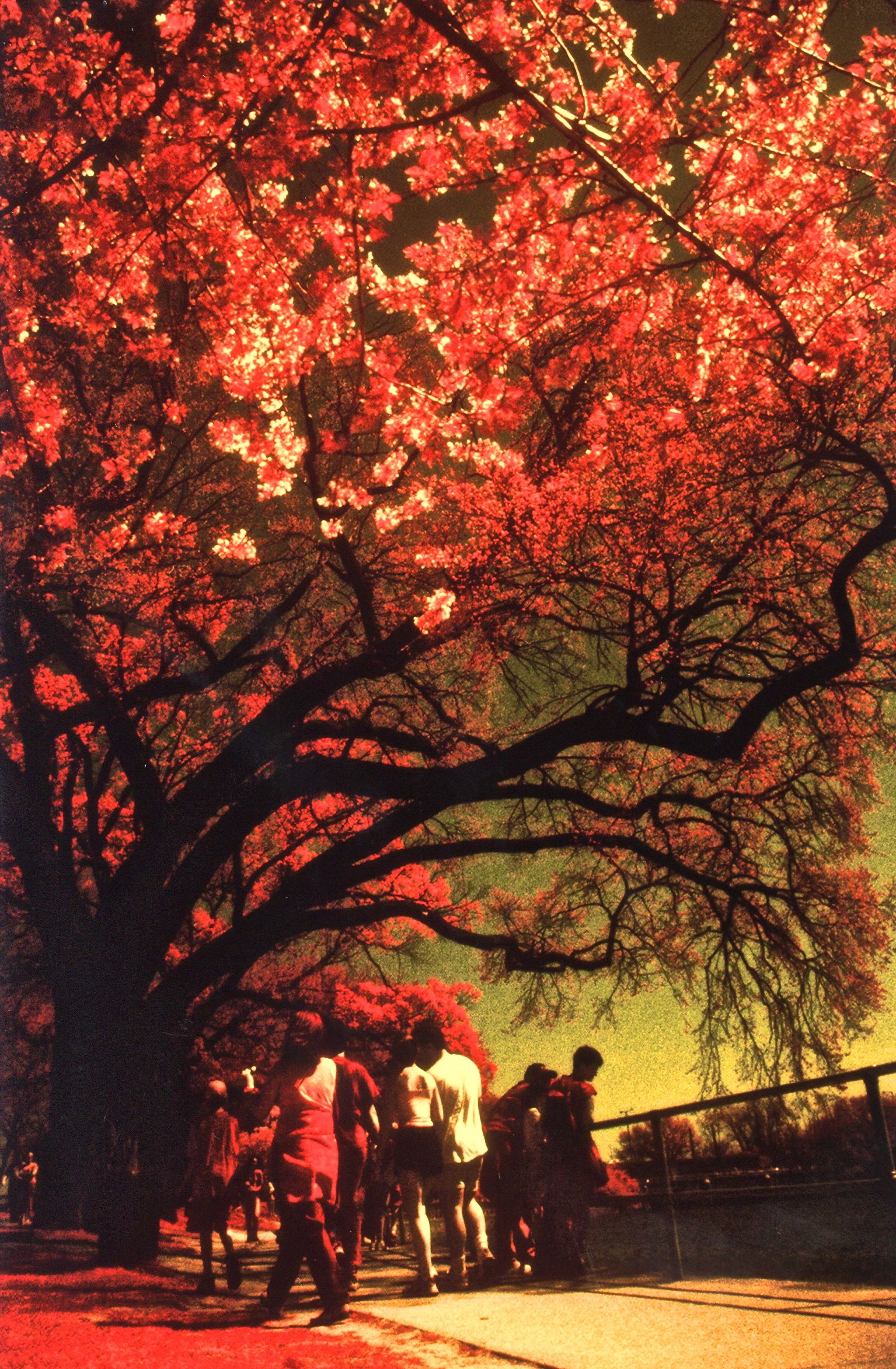 washington dc cherry blossoms color infrared film 2001 1