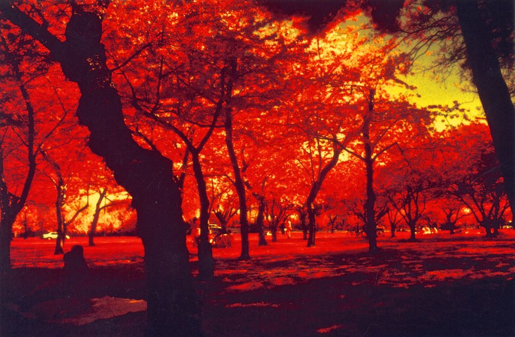 washington dc cherry blossoms color infrared film 2001 3