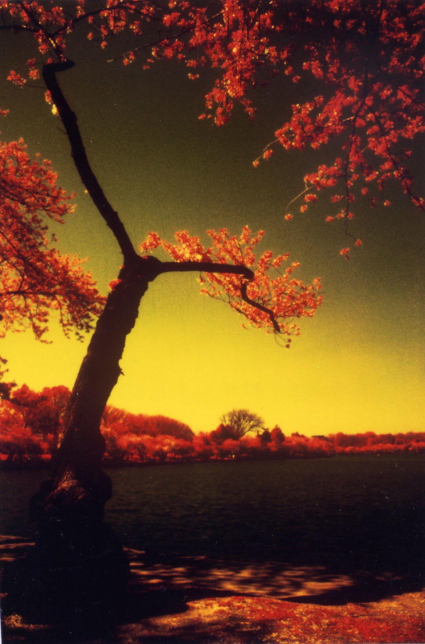 washington dc cherry blossoms color infrared film 2001 4