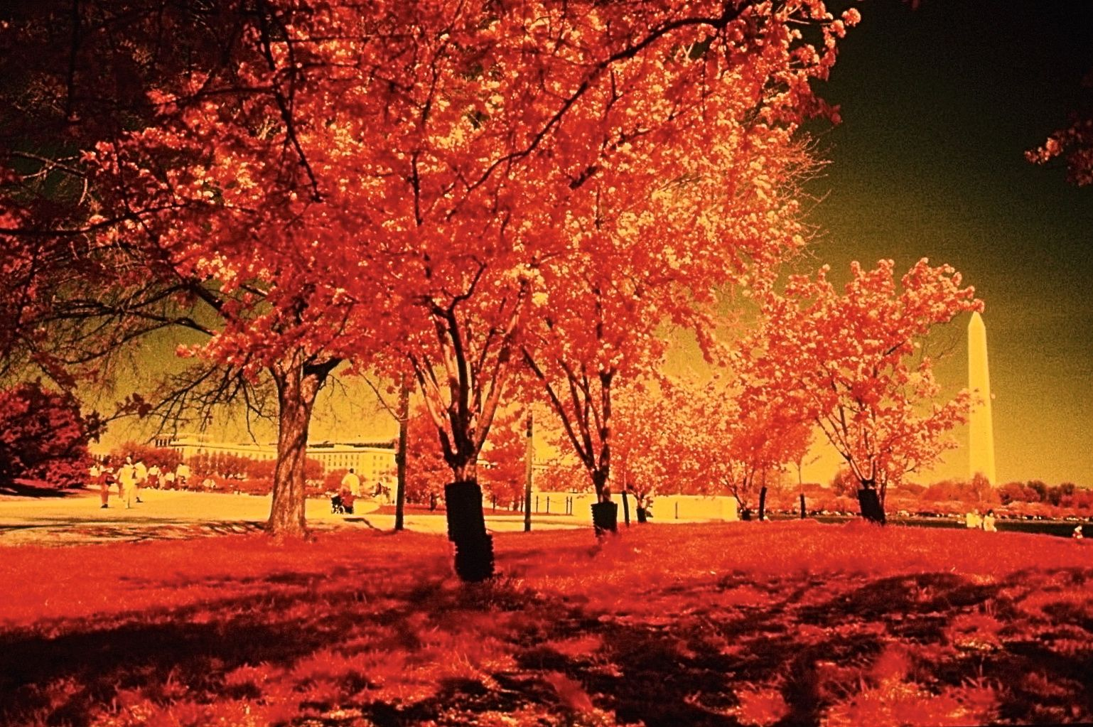 washington dc cherry blossoms color infrared film 2001 5