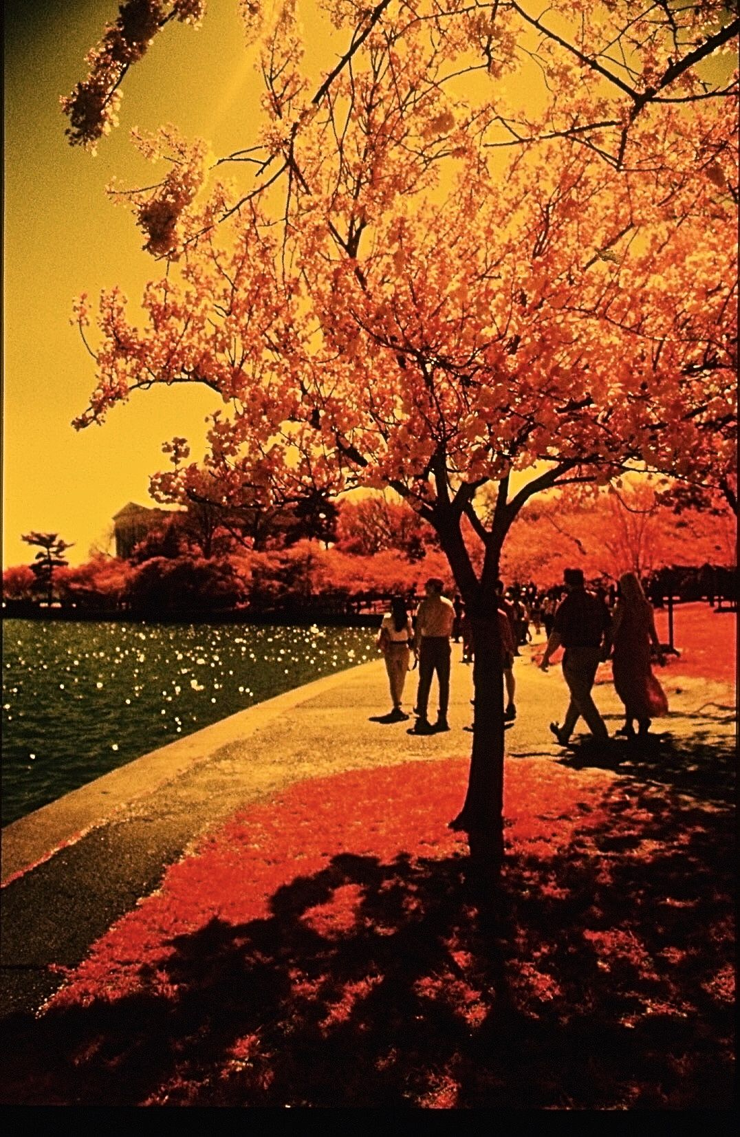 washington dc cherry blossoms color infrared film 2001 6