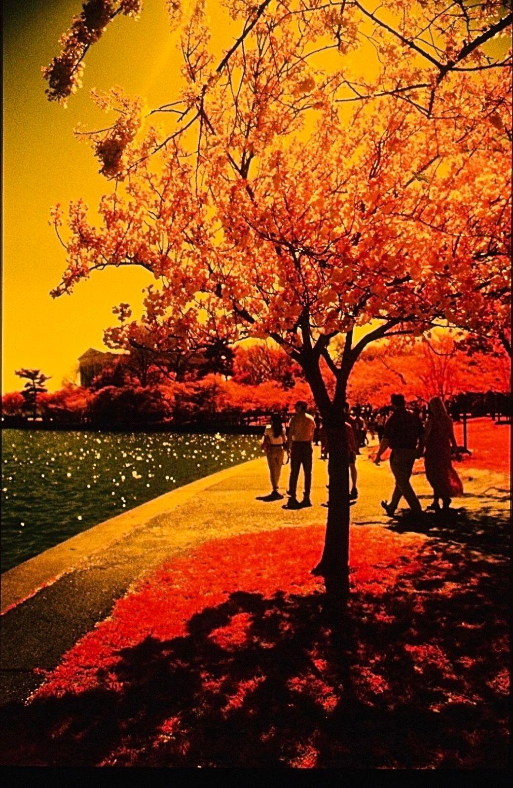 washington dc cherry blossoms color infrared film 2001 6