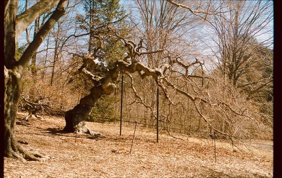 boston jamaica plain arnold arboretum tree cinestill 50